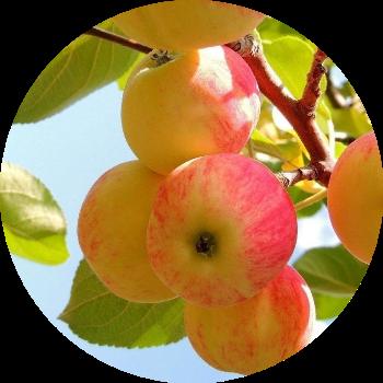 яблоня изображение