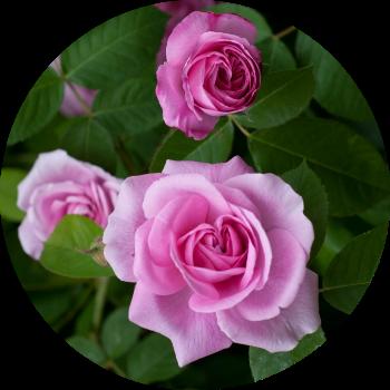 Цветы - изображение
