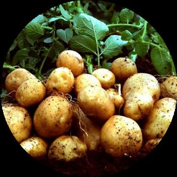 Картофель изображение
