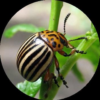 Колорадский жук - главная