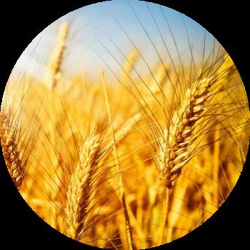 пшеница изображение