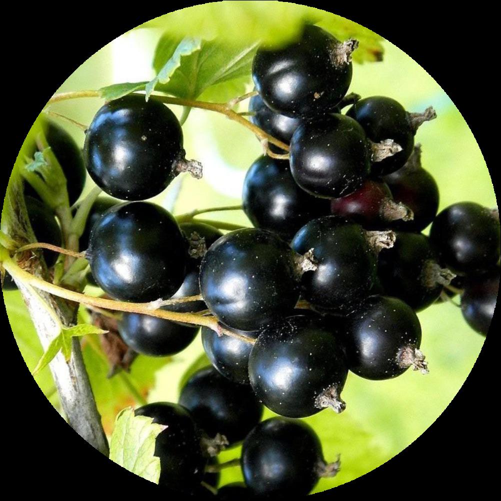 смородина черная изображение