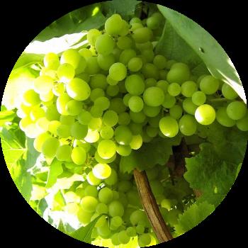 виноград изображение