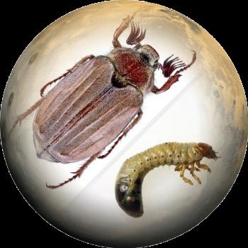 Майский жук- изображение