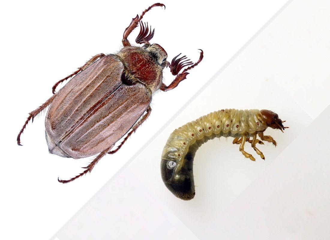 Майский жук крупным планом