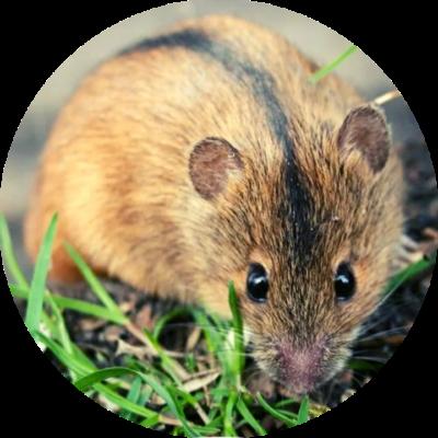 Мышь изображение