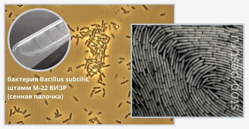 Бактерия Bacillus subtilis (сенная палочка)