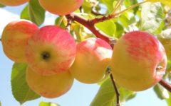 Яблоня, крупным планом