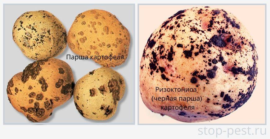 Примеры распространенных болезней картофеля