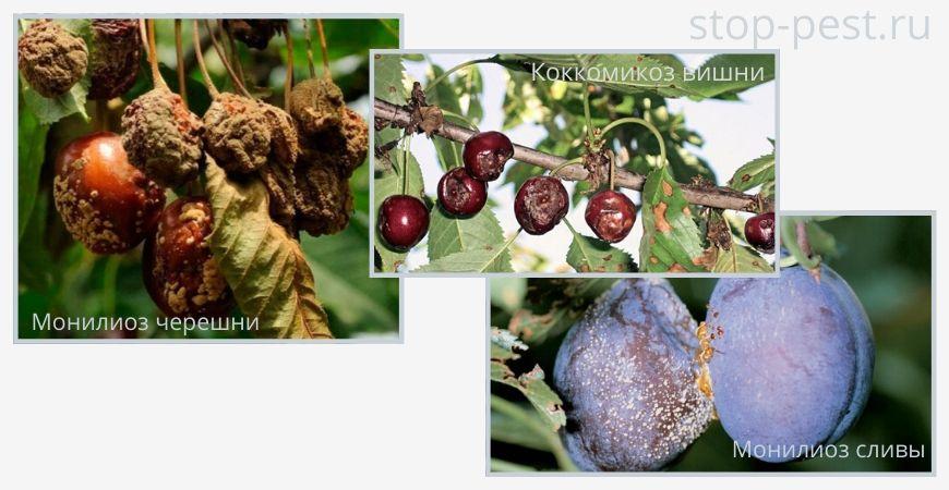Примеры болезней косточковых плодовых культур (монилиоз, коккомикоз)