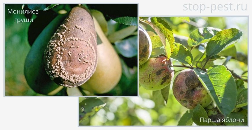 Примеры болезней семечковых плодовых культур (парша, монилиоз)