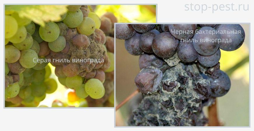 Примеры болезней винограда (гниль черная и серая)