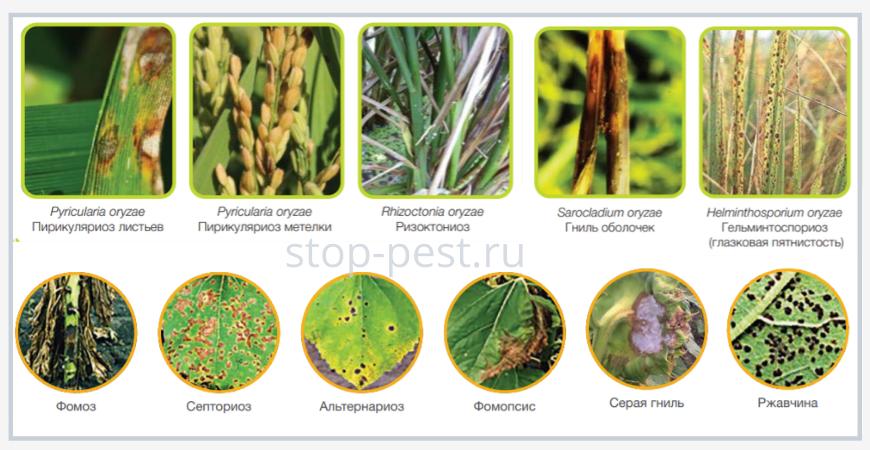 Примеры распространенных болезней зерновых и масленичных культур