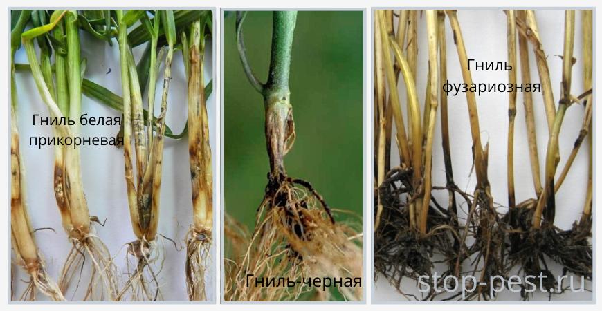 Примеры распространенных корневых и прикорневых гнилей