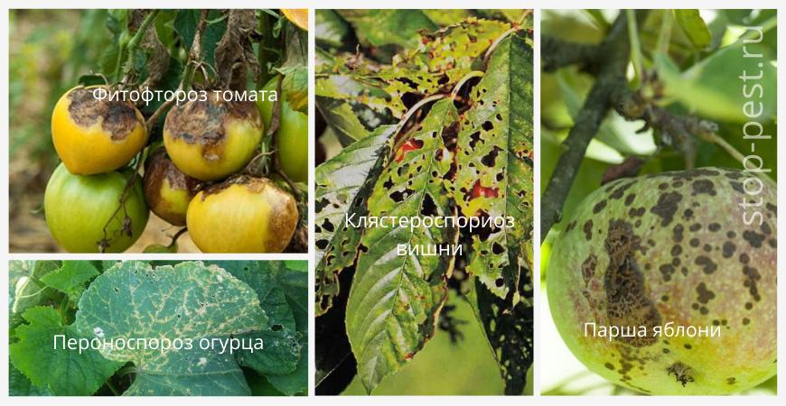 Примеры заболевания растений, вызванных грибковым заражением