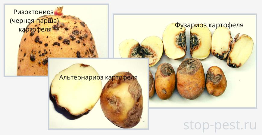 Примеры гнилей картофеля (ризоктониоз, фузариоз, альтернариоз)