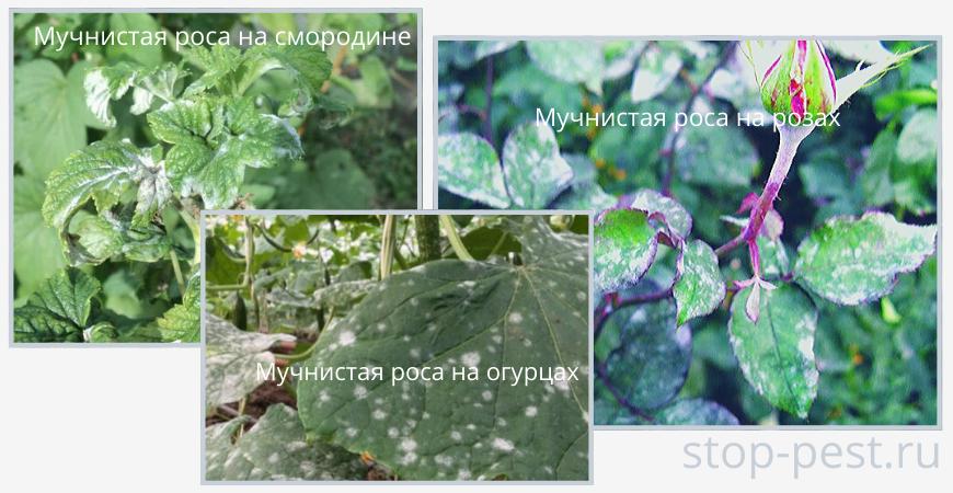Внешние характерные признаки мучнистой росы на растениях
