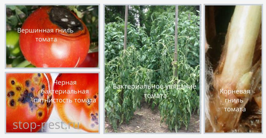 Примеры болезней томатов - черная бактериальная пятнистость, бактериальное увядание, вершинная гниль