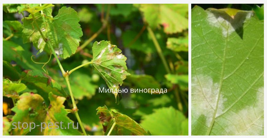 Милдью виноград - характерные внешние признаки