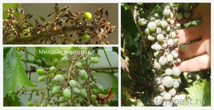 Признаки заражения милдью на виноградных гроздьях