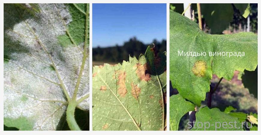 Внешние признаки милдью на листьях винограда