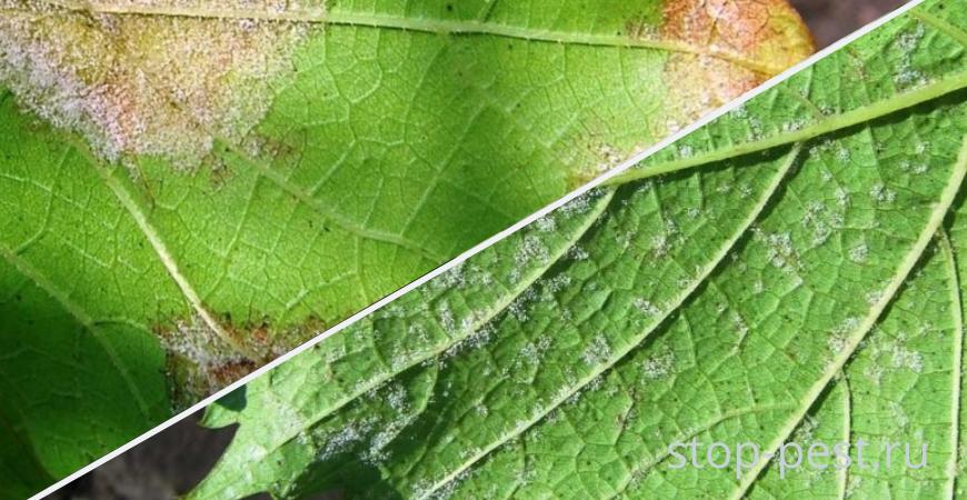 Милдью винограда - причины, внешние признаки и меры защиты