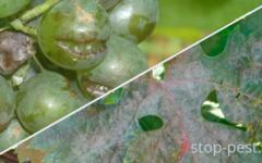 Оидиум (мучнистая роса) винограда. Причина, признаки, меры борьбы