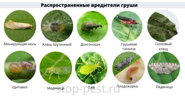 Груша - распространенные насекомые вредители