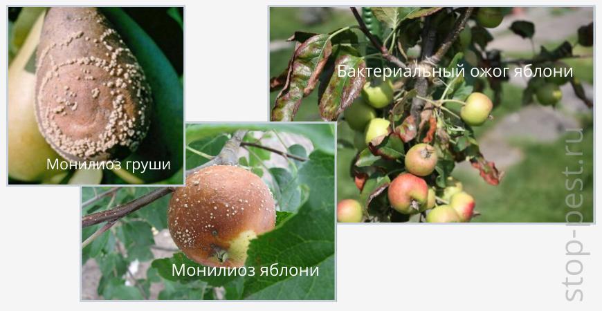 Примеры болезней семечковых культур — монилиоз и бактериальный ожог