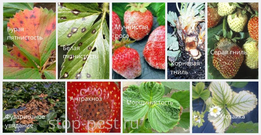Распространенные болезни земляники (садовой клубники)