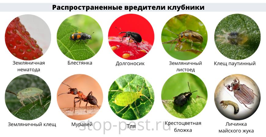 Распространенные вредители садовой клубники