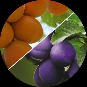 Слива, абрикос, персик - изображение