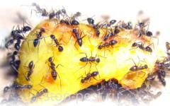 Борная кислота от тараканов и муравьев - четыре базовых рецепта и готовые препараты