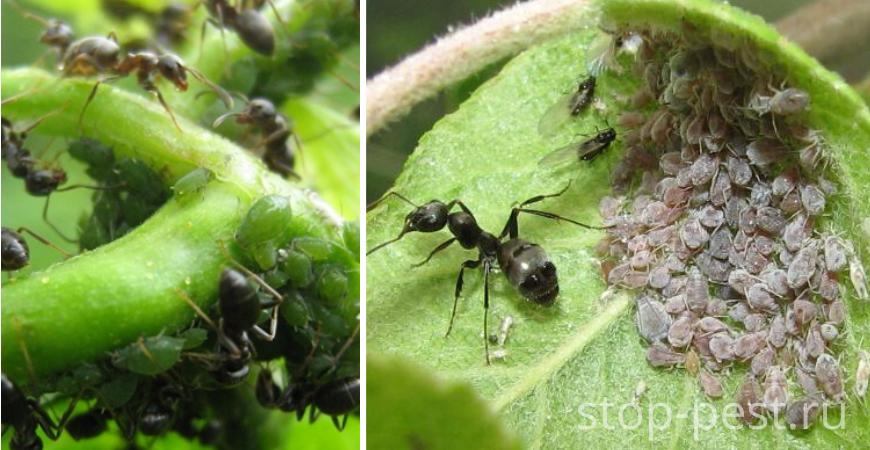 Классический пример трофобиоза — муравьев и тли