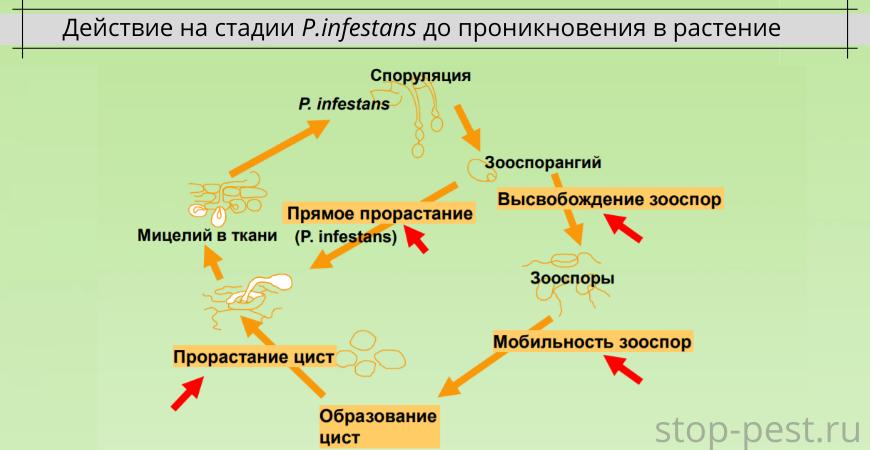 Действие на стадии P.infestans до проникновения в растение