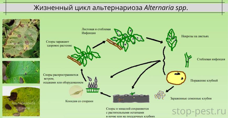 Жизненный цикл альтернариоза Alternaria spp.