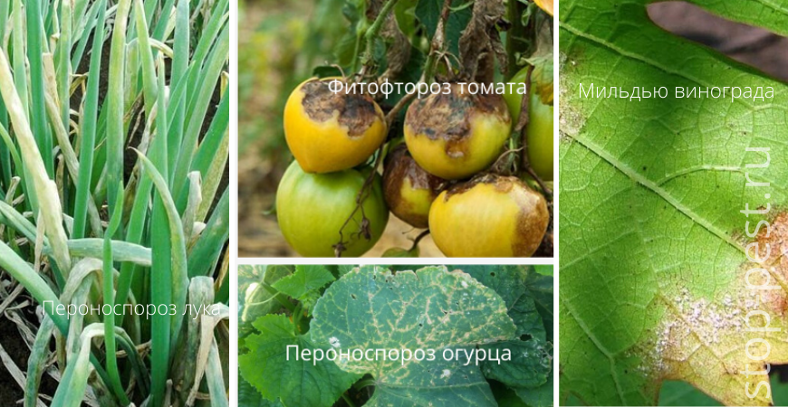 Болезни овощных культур, лука и винограда, вызванные грибковым заражением