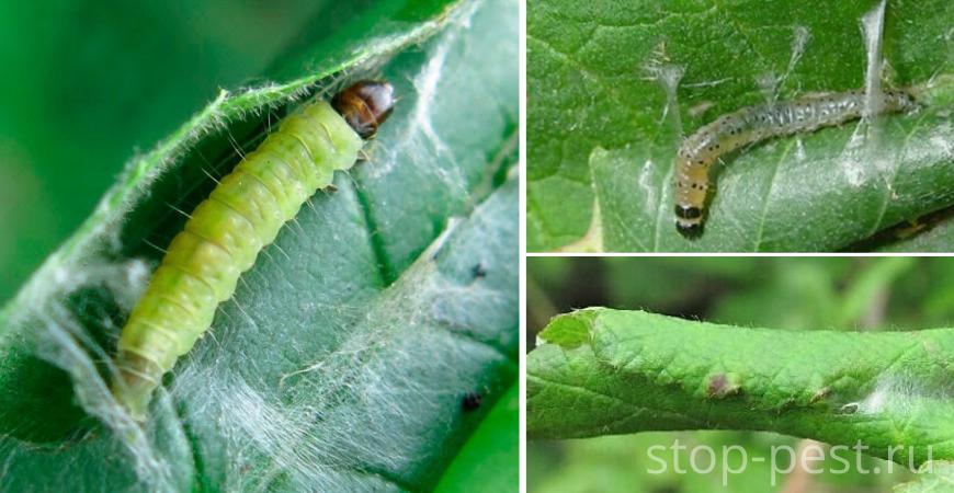 Листовертка, личинка (гусеница)
