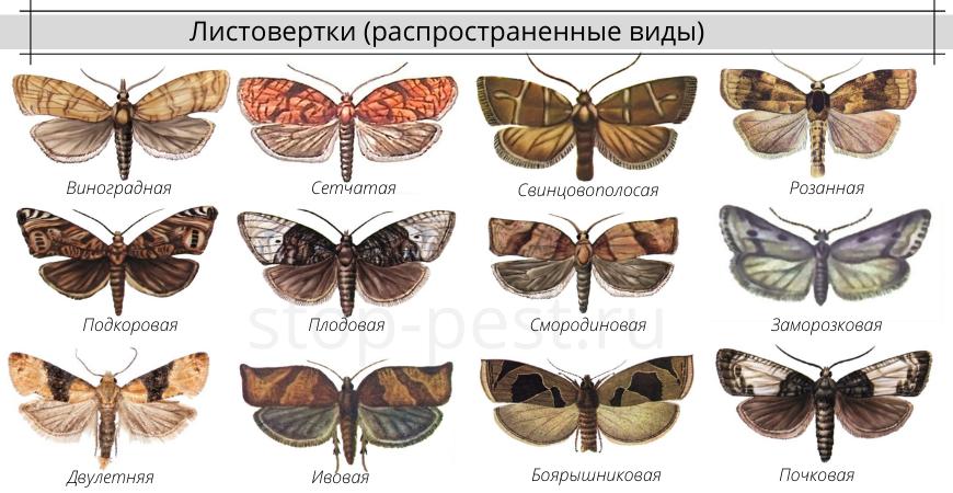 Листовертка - распространенные виды, разновидности