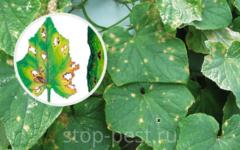 Бактериоз огурца (угловая пятнистость) - признаки и лечение