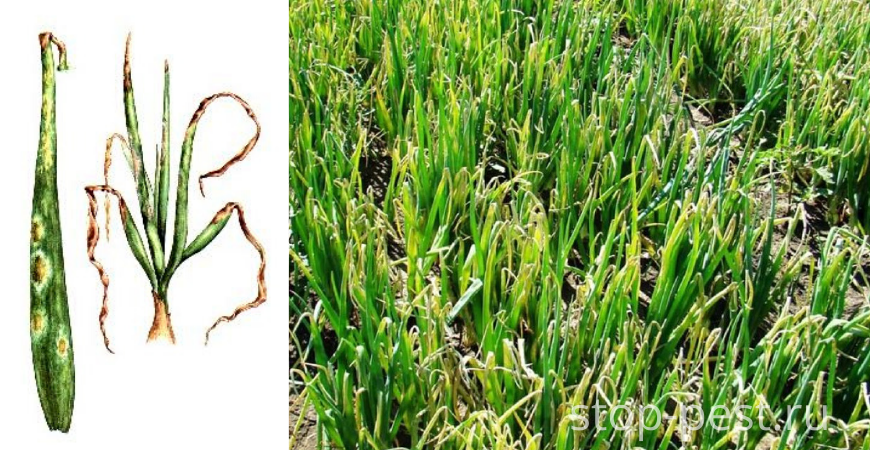 Пероноспороз (ложная мучнистая роса) лука