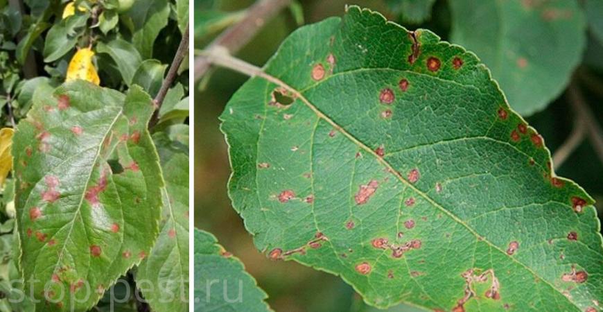 Бурая пятнистость на листьях плодовых семечковых культур