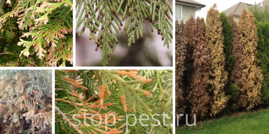 Внешние признаки поражения хвойных растений