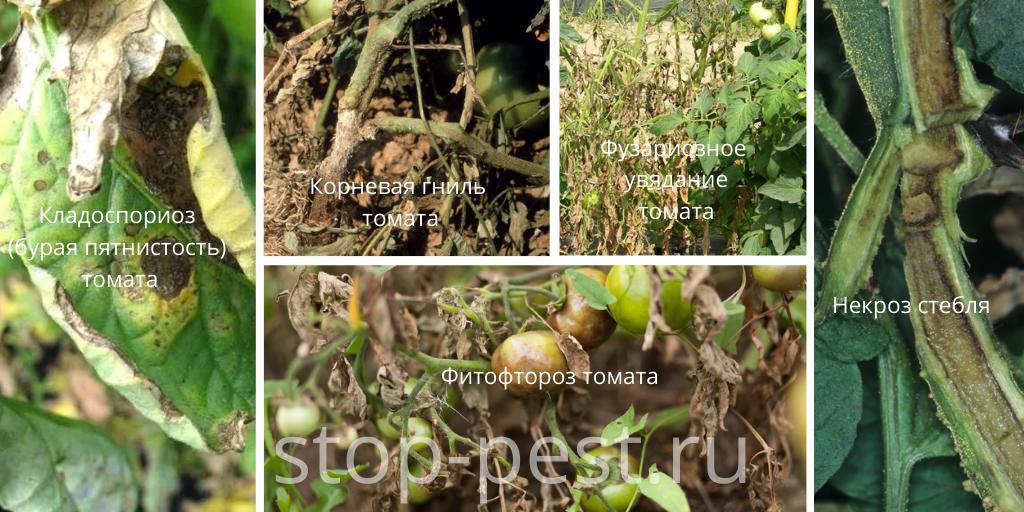Томат - распространенные болезни томата