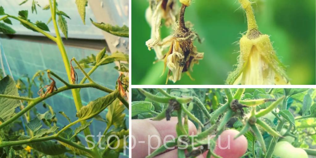 Опадение завязей у овощных культур