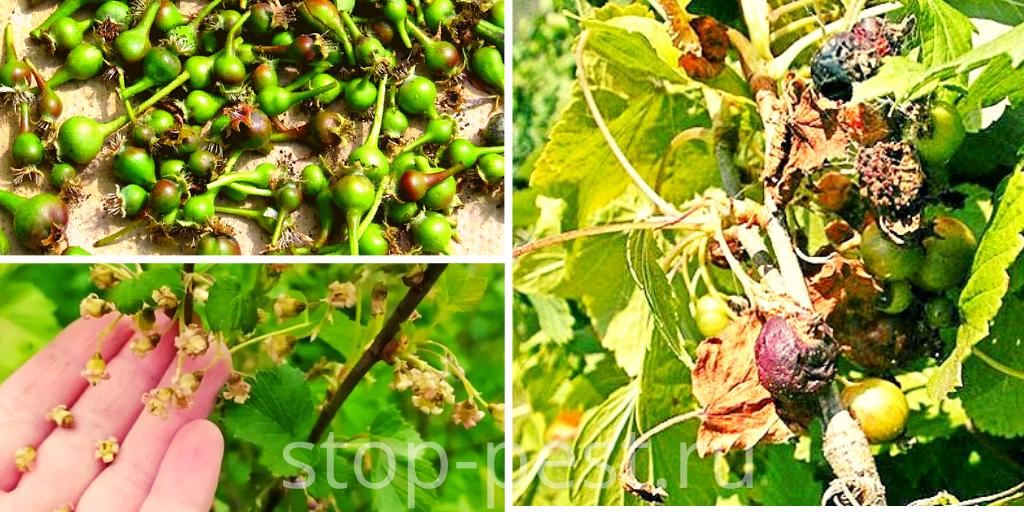 Опадение завязей у плодово-ягодных культур