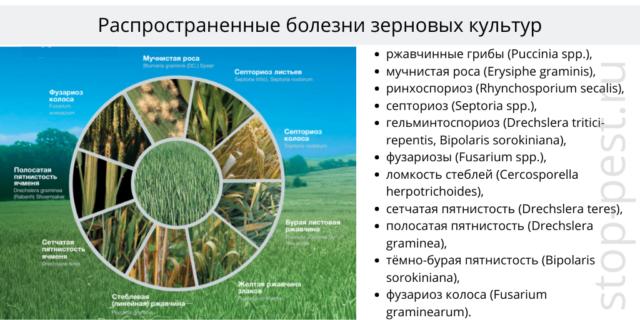 Зерновые культуры - распространенные болезни