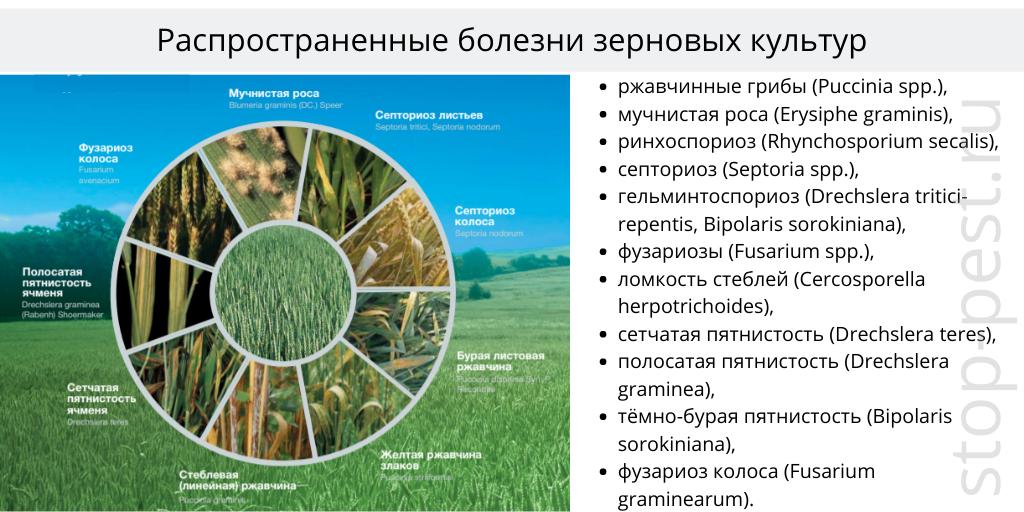 Зерновые культуры- распространенные болезни