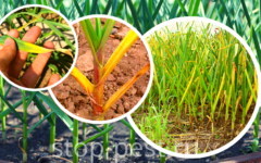 Пожелтение чеснока в мае-июне - что делать - причины и защита