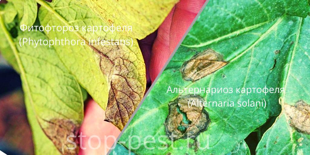 Картофель - болезни - фитофтороз и альтернариоз